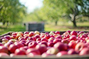 remorque pommes à cidre