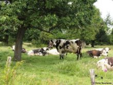vache normande prairie