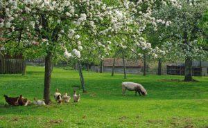mouton poule pommiers